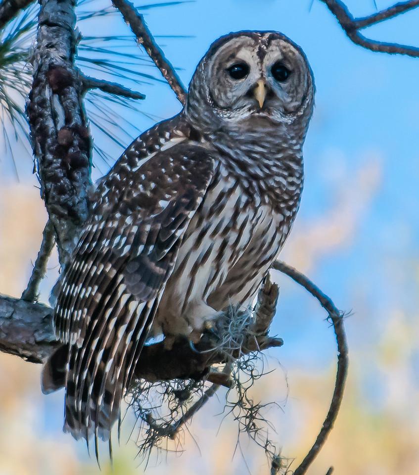 • Location - Fellsmere Rd in Kenansville<br /> • Barred Owl