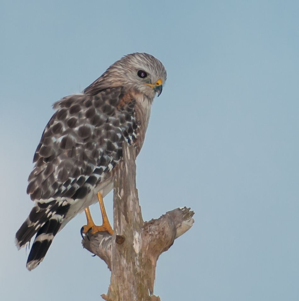 • Location - Viera Wetlands<br /> • Juvenile Red-shouldered Hawk