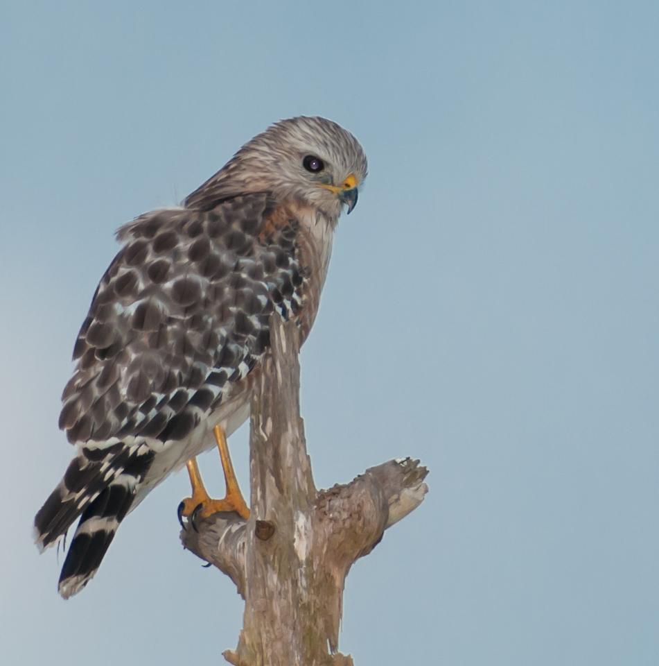 • Location - Viera Wetlands<br /> • Juvenile Red-shouldered Hawk