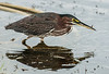 • Location - Dan Click Ponds<br /> • Green Heron with a tiny fish