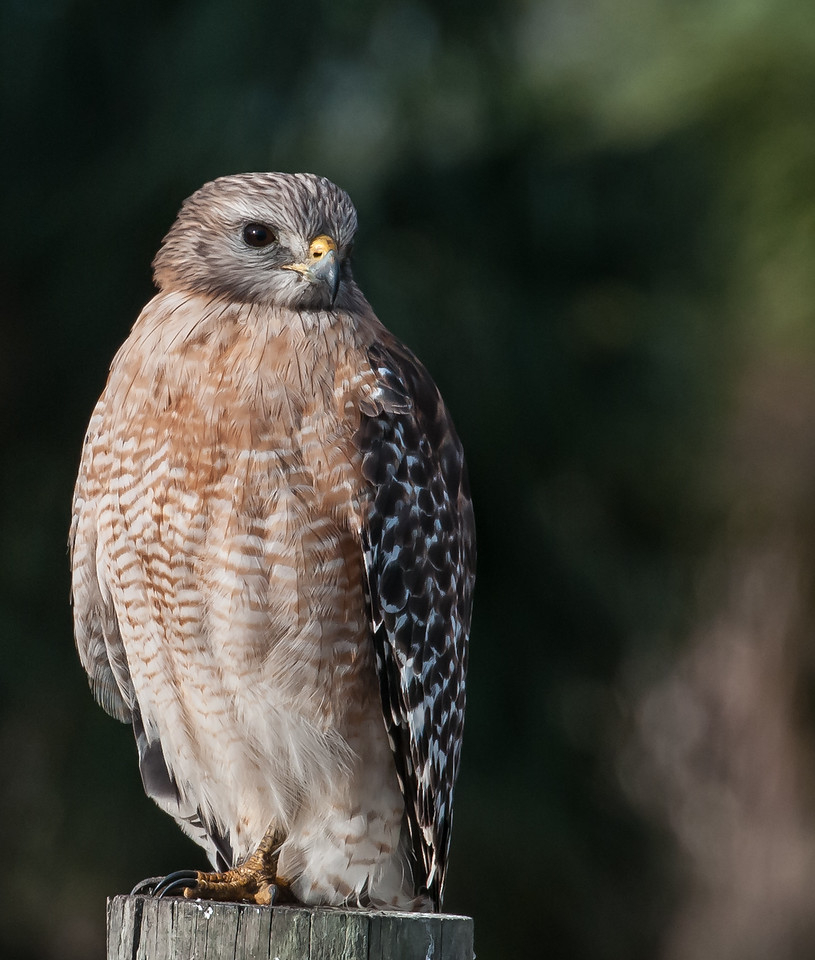• Location - Viera Wetlands<br /> • Red-shouldered Hawk