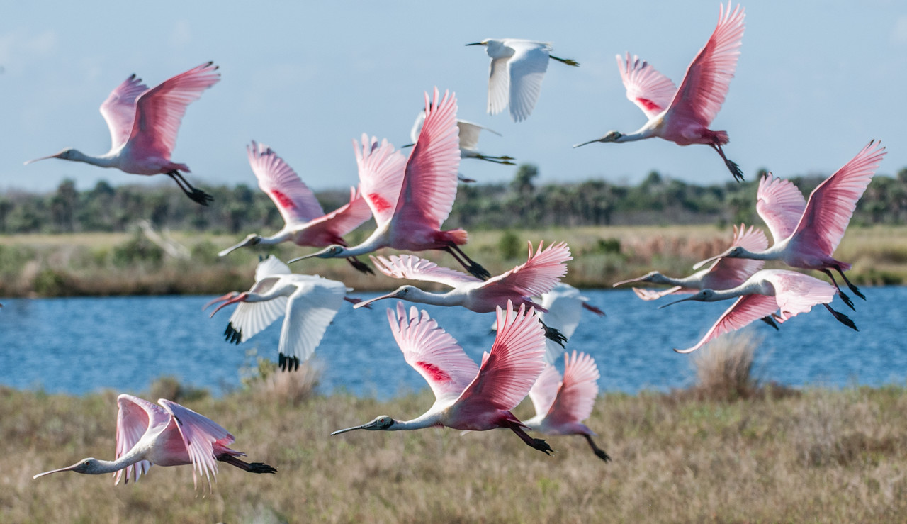• Location - Merritt Island Wildlife Refuge<br /> • A flock of Roseate Spoonbill taking off