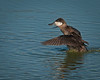 A male Ruddy Duck flopping its wings