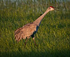 Sandhill Crane speaking its mind