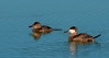 A pair of Ruddy Ducks - The female is to the left and male is to the right