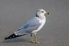 Ring-billed Gull,