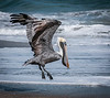 Brown Pelican taking off with a fish