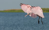 • Juvenile Roseate Spoonbill<br /> • The juvenile is putting on its breaks