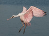• Juvenile Roseate Spoonbill<br /> • Coming for a landing