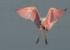 • Juvenile Roseate Spoonbill<br /> • Coming straight in for landing