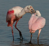 • Mother and Juvenile Roseate Spoonbills<br /> • Time for breakfast!