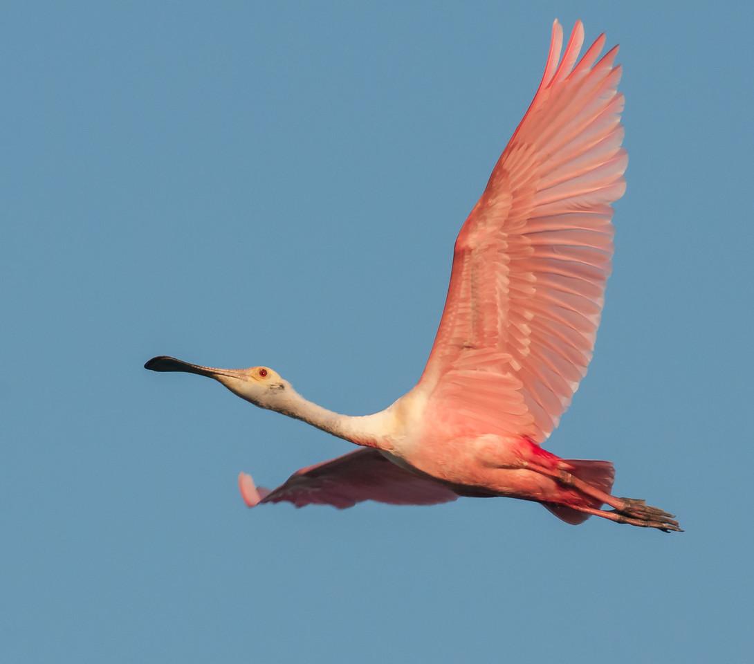 • Adult Roseate Spoonbills<br /> • In flight