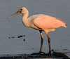 • Juvenile Roseate Spoonbill<br /> • Hey mom, where is my breakfast?