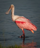 • Adult Roseate Spoonbills<br /> • I'm just strolling around looking for something to eat