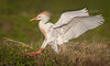 Cattle Egret coming in for a landing.