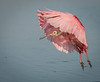 An adult Roseate Spoonbill coming in for a landing