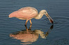 It looks like the juvenile Roseate Spoonbill found something to eat