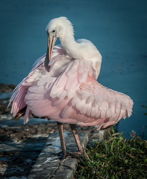 Nice to see the juvenile Roseate Spoonbill preening itself