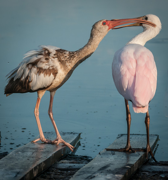 A juvenile White Ibis and Roseate Spoonbill interacting with each other