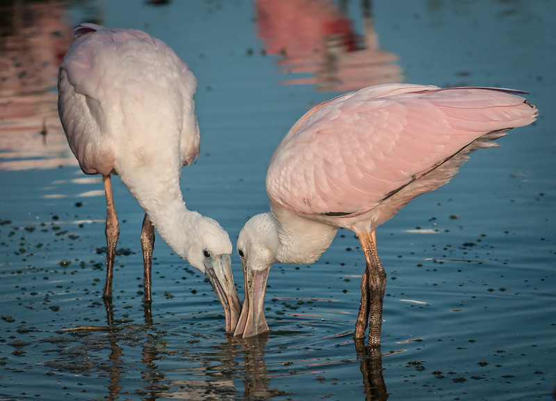 It so nice to see the pair of juvenile Roseate Spoonbills getting along so well