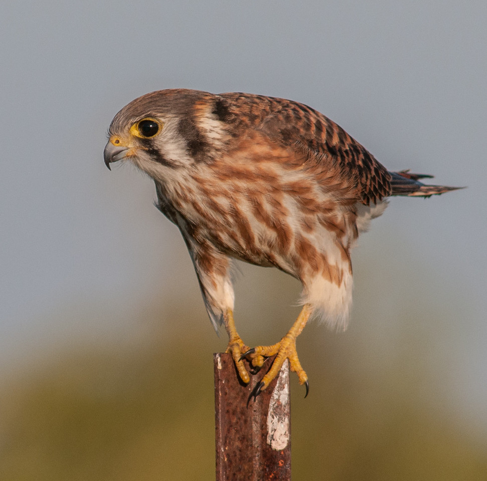 • Location - Moccasin Island Tact<br /> • American Kestrel