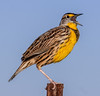 • Location - Moccasin Island Tact<br /> • Eastern Meadowlark calling its mate