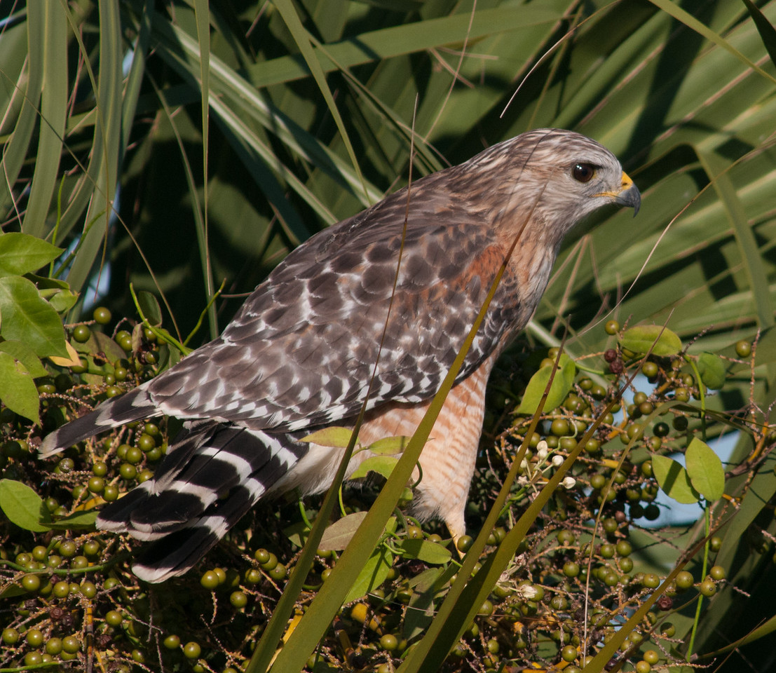 * Location - Dan Click Ponds<br /> • Red-shouldered Hawk trying to hide from me