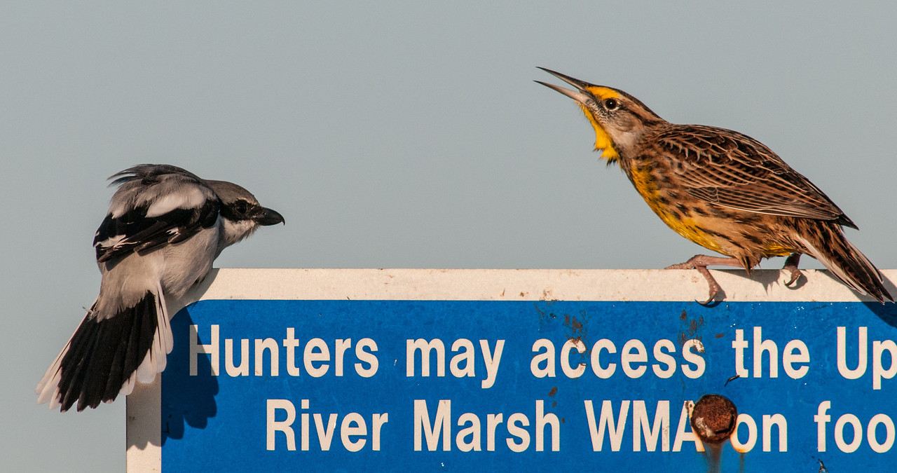 • Location - Moccasin Island Tact<br /> • Loggerhead Shrike and Easter Meadowlark seeing who will chase the other off the sign first.