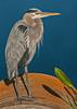 • Location - Viera Wetlands<br /> • Great Blue Heron Portrait