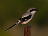 • Location - Moccasin Island Tact<br /> • Loggerhead Shrike