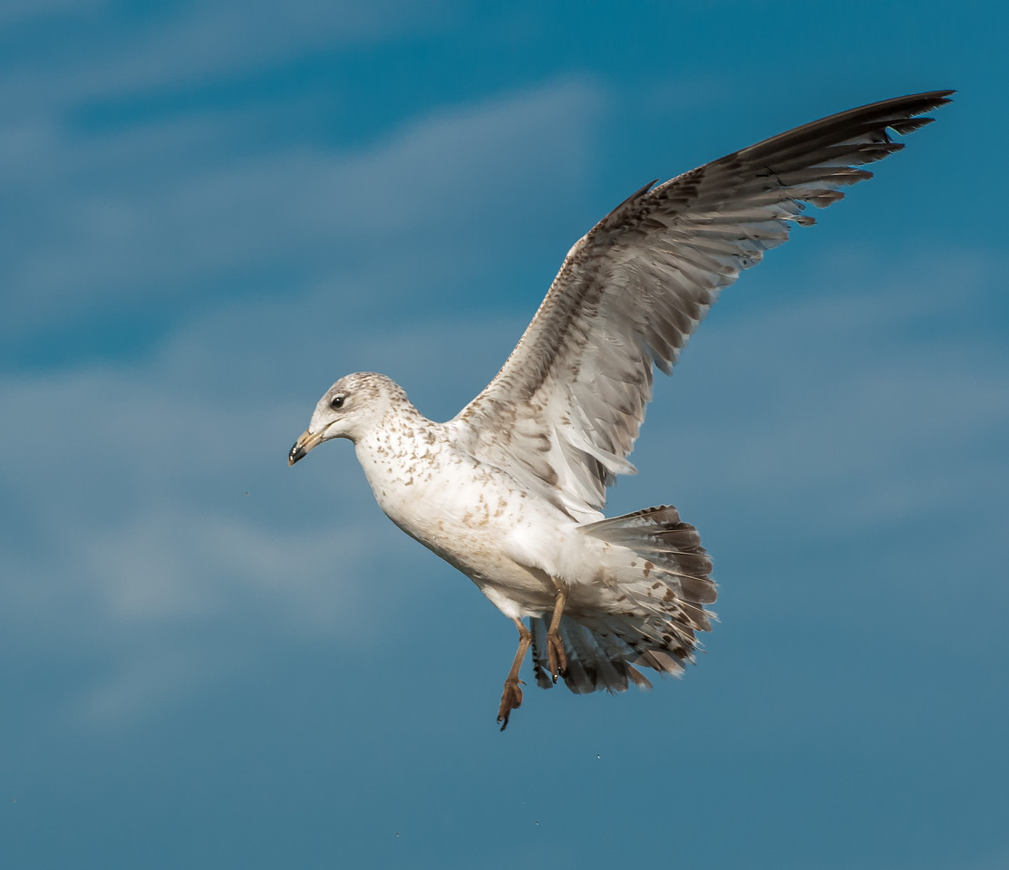 • Location - Merritt Island National Wildlife Refuge<br /> • Immature Ring-billed Gull ready to land