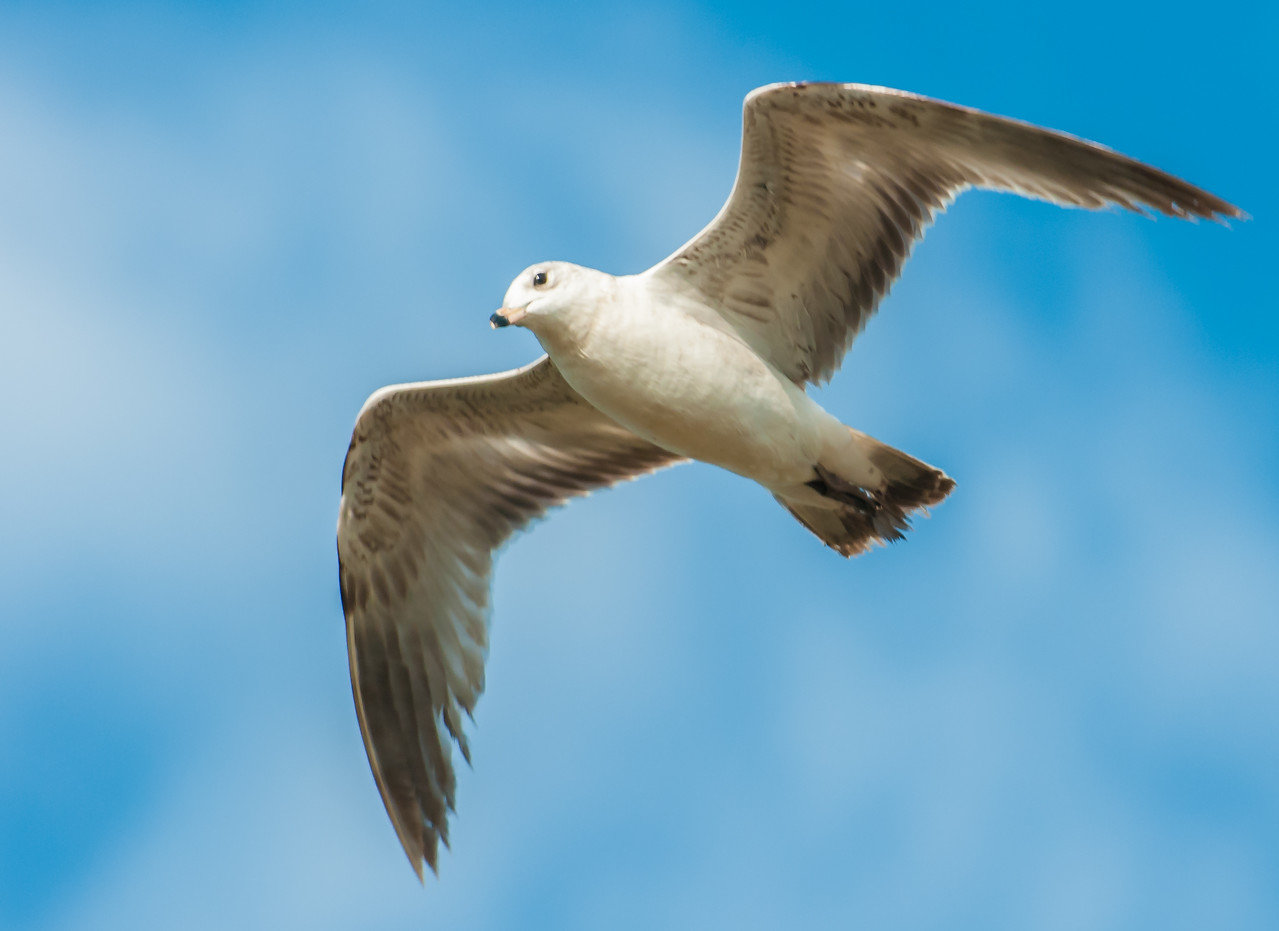 • Location - Merritt Island National Wildlife Refuge<br /> • Ring-billed Gull in flight
