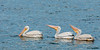• Location - Dan Click Ponds<br /> • A trio of American White Pelicans in the process of fishing