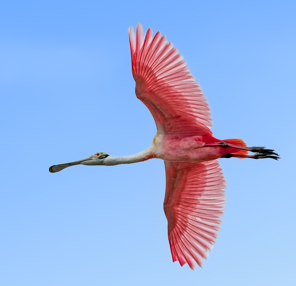 • Location - Merritt Island National Wildlife Refuge<br /> • Roseate Spoonbill in flight
