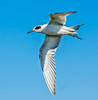 • Location - Dan Click Ponds<br /> • Forster's Tern in flight