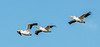 • Location - Merritt Island National Wildlife Refuge<br /> • A Trio of American White Pelicans in flight