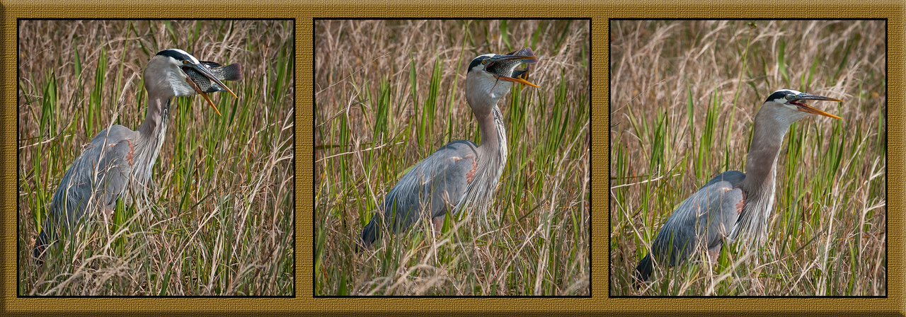 • Location - Viera Wetlands<br /> • Sequence of photos of an Great Blue Heron eating a large fish.