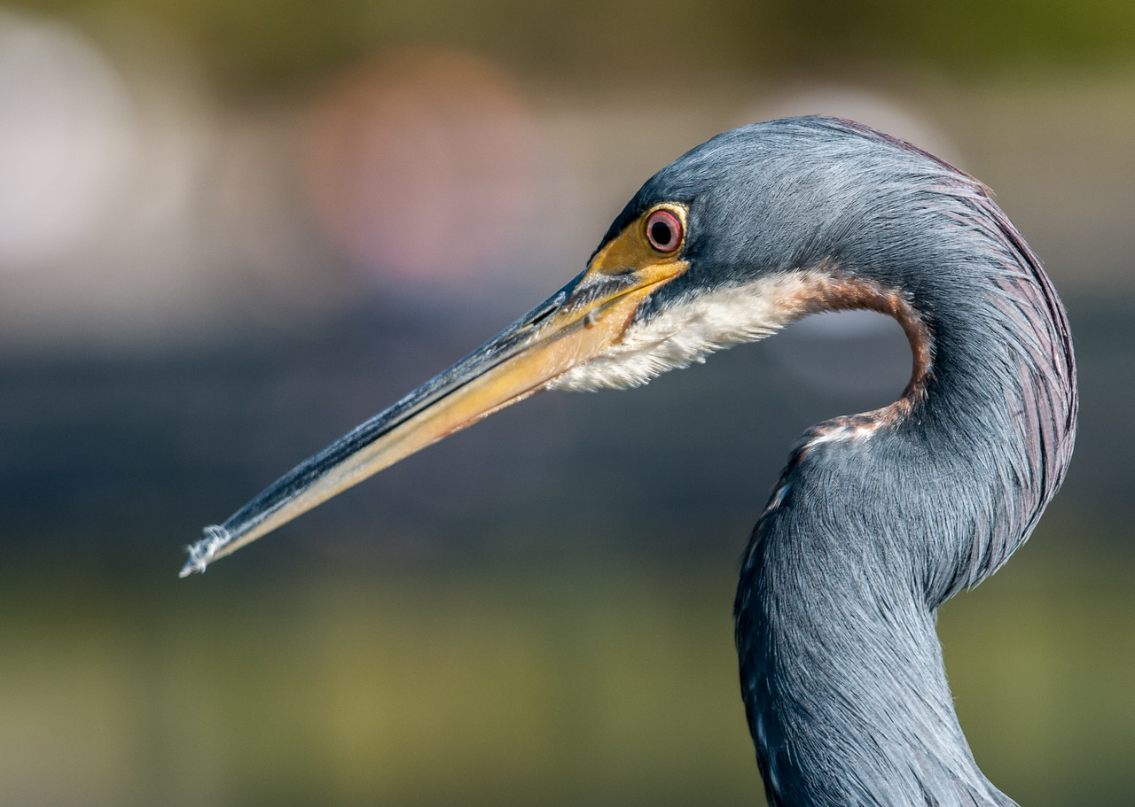 • Location - Green Cay Wetlands<br /> • Tri-colored Heron