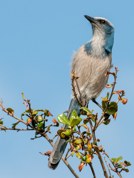 • Location - St. Sebastian River Preserve State Park in Fellsmere, Florida<br /> • Scrub Jay