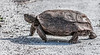 • Location - Melbourne near the Eagle's nest<br /> • Gopher Tortoise on the move