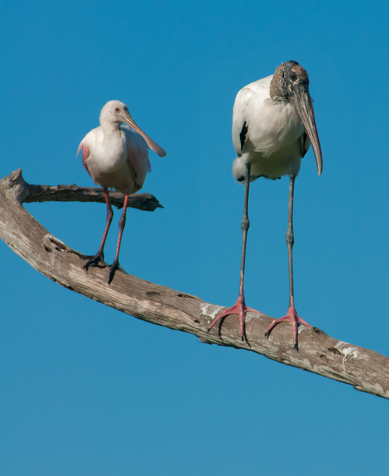 • Location - Green Cay Wetlands<br /> • Roseate Spoonbill and Wood Stork<br /> • This is what I call togetherness
