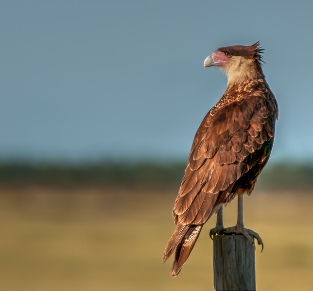 • Location - Road to Moccasin Tract<br /> • Crested Caracara