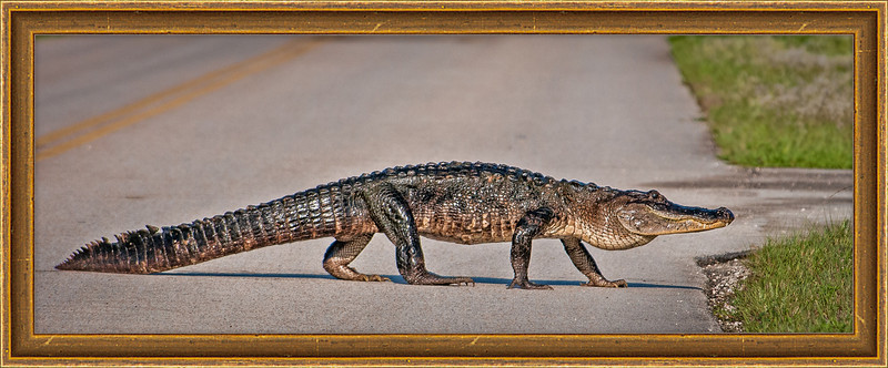 • Location - Play Playalinda Beach Road<br /> • Why did the Alligator cross the road???  To get to the other side, of course.