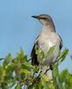 • Location - Viera Wetlands<br /> • Northern Mockingbird