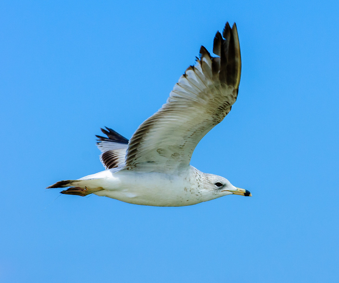 • Location - Parrish Park<br /> • Ring-billed Gull in flight