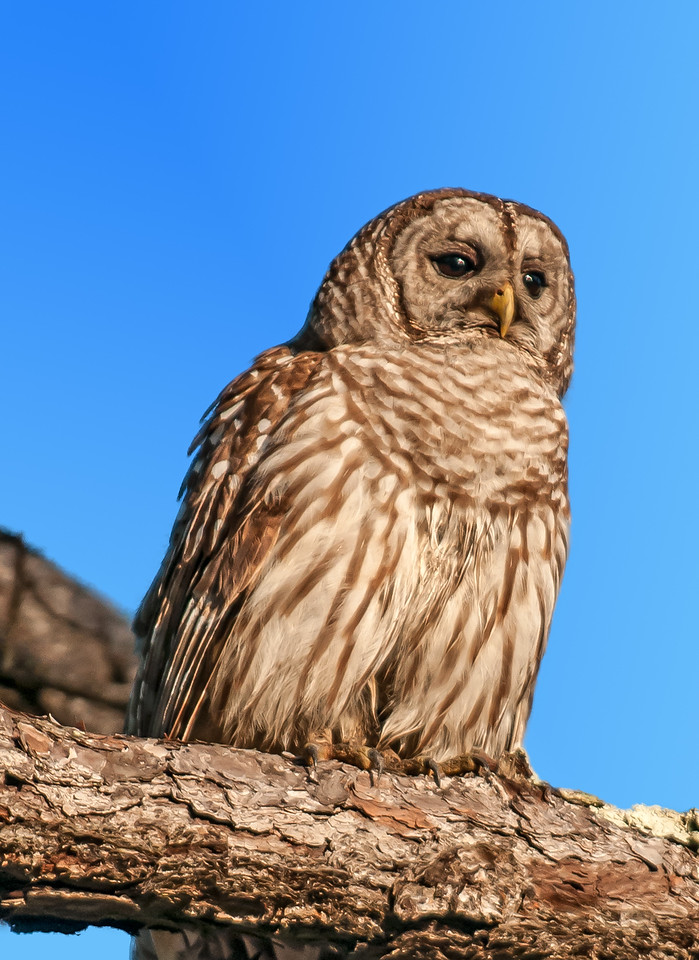 • Location - Moccasin Island Tact Road<br /> • Barred Owl