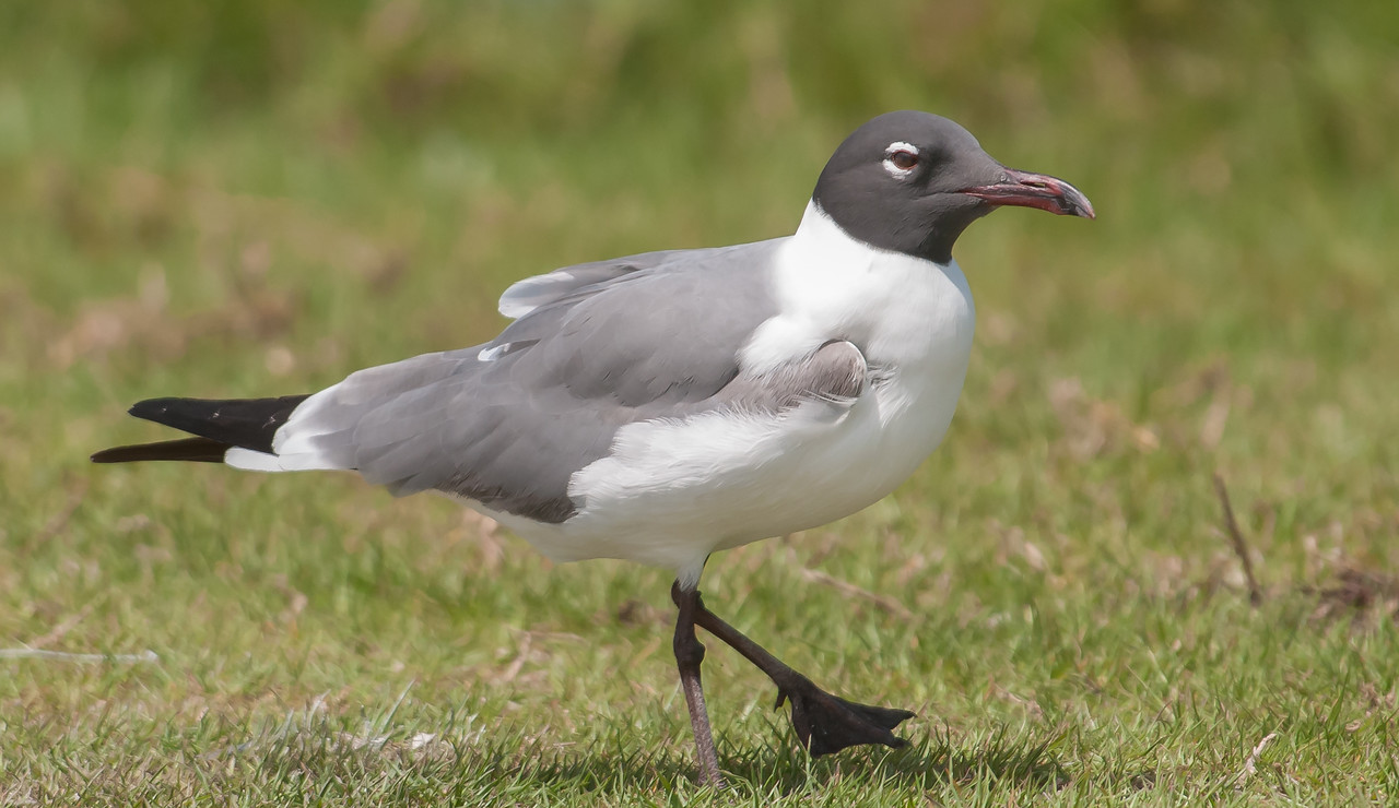 • Location - Parrish Park<br /> • Laughing Gull stepping out