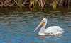 • Location - Dan Click Ponds<br /> • One of a few loner American White Pelicans I have seen.