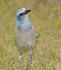 • Location - Merritt Island National Wildlife Refuge<br /> • Scrub Jay