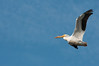 • Location - Merritt Island National Wildlife Refuge<br /> • American White Pelican in flight